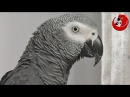 Gadająca papuga Grigorij - Monolog (Gregory The Talking Parrot - Monologue)