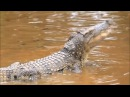 Crocodile dog