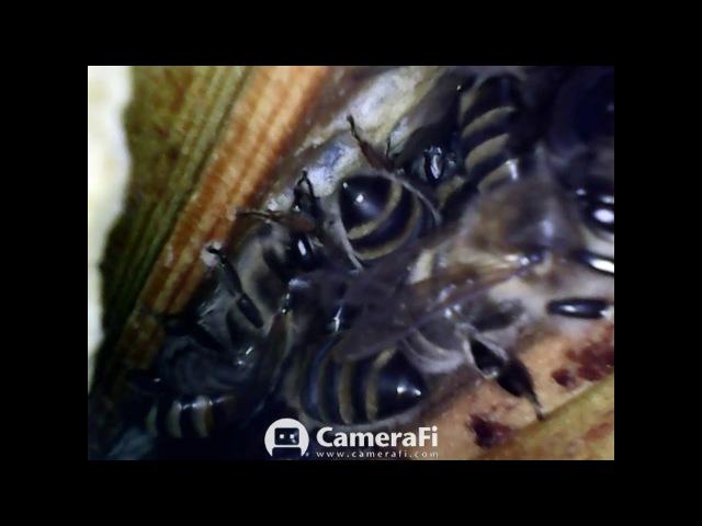 Наблюдение за пчёлами с помощью эндоскопа