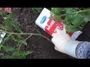 Урожай помидор собирете уже в июне если посадите этим простым способом