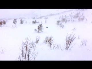 Поединок росомахи и оленя