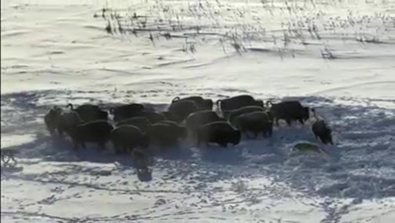 Борьба за выживание.Бизоны против волков.Канада.