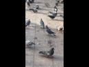голуби, и никакой любви