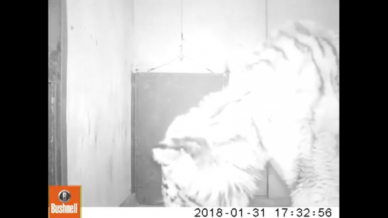 Premières images d'une tigresse du kraï Khabarovsky. Elle est toujours dans un état critique mais stable, mange et boit.