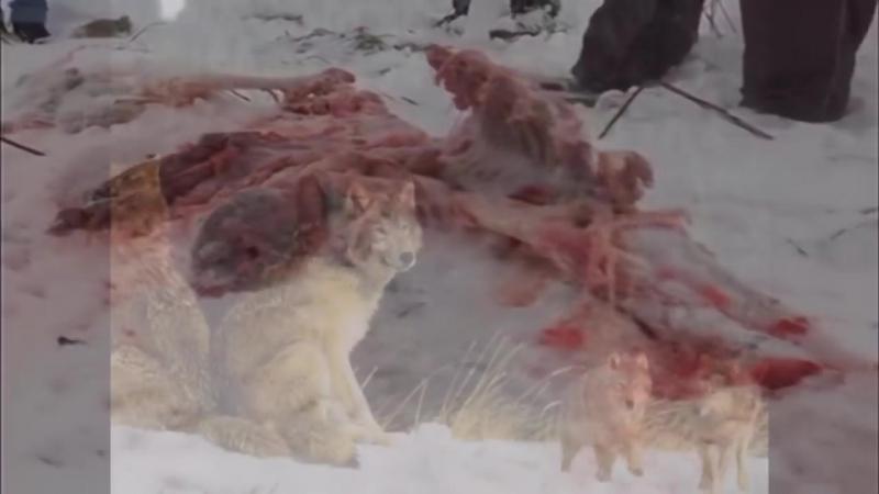 Волки сьели среднеазиатскую овчарку (Алабай)