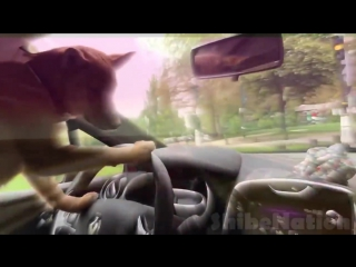 SHIBA driving at incredible hihg speed