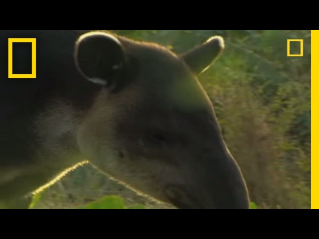 What in the World is a Tapir National Geographic
