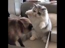 Коты, разборка Боксер против борца