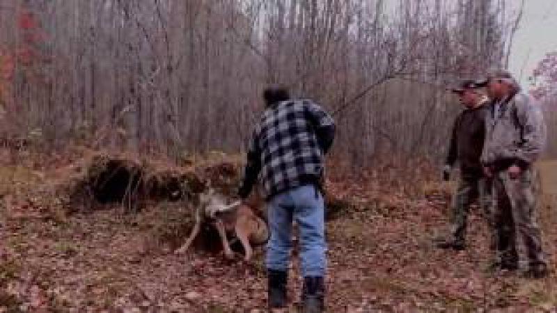 Охота- волк попался в капкан.
