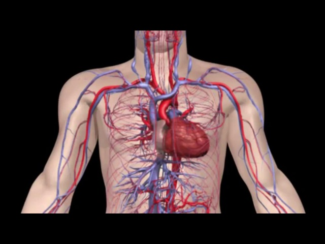 Анатомия. Кровеносная система