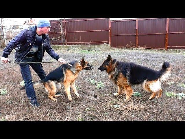 Дагир и Юмира. Ждём ЩЕНКОВ Немецкой овчарки. We are waiting for PUPPIES of the German Shepherd.