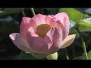 Лотос - священный цветок чистоты - Secret Garden - lotus