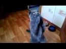 Кот Макс милашка и попрошайка