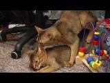 Вязка абиссинского кота и кошки. В мире животных. Abyssinian cats.