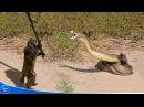 Nếu không có camera quay lại chắc bạn không tin có những trận chiến kỳ lạ như vậy ataque de animales