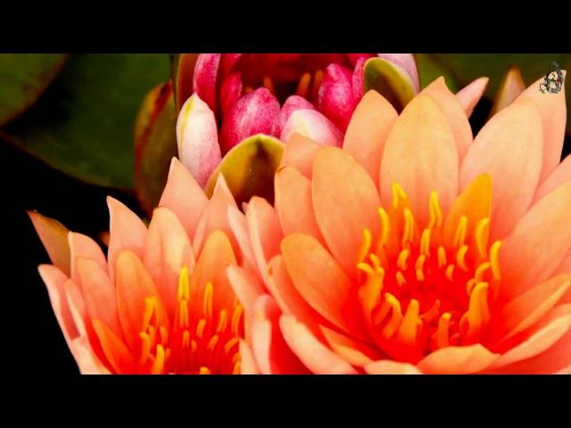Пробуждение Цветы распускаются под музыку David Gasia