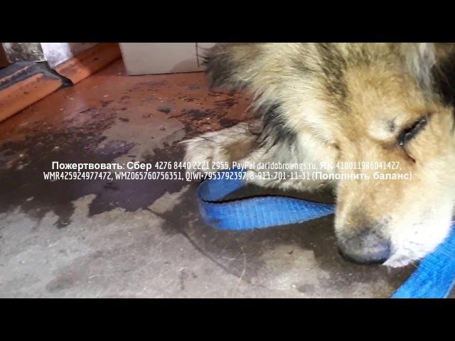 Привел бездомную собаку в дом но случилась беда Сепсис и опарыши поедают собаку заживо