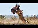 Most Spectacular Big Cat Attacks Compilation including Lion Attack, Leopard, Tiger, Jaguar, Cheetah
