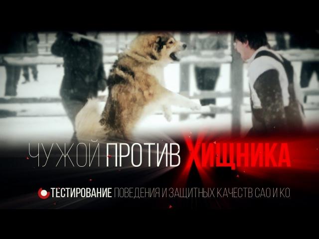 Чужой против хищника г Переславль проверка собак на защиту