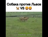 Собака против львов
