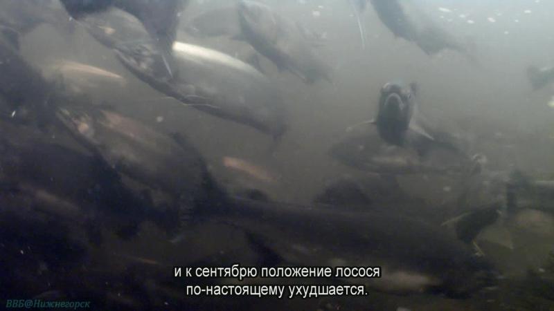 BBC «Величайшие явления природы (2). Великий исход лосося» (Познавательный, животные, 2009)