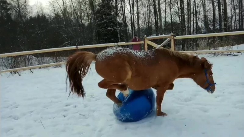 Лошадь случайно наступила на мяч