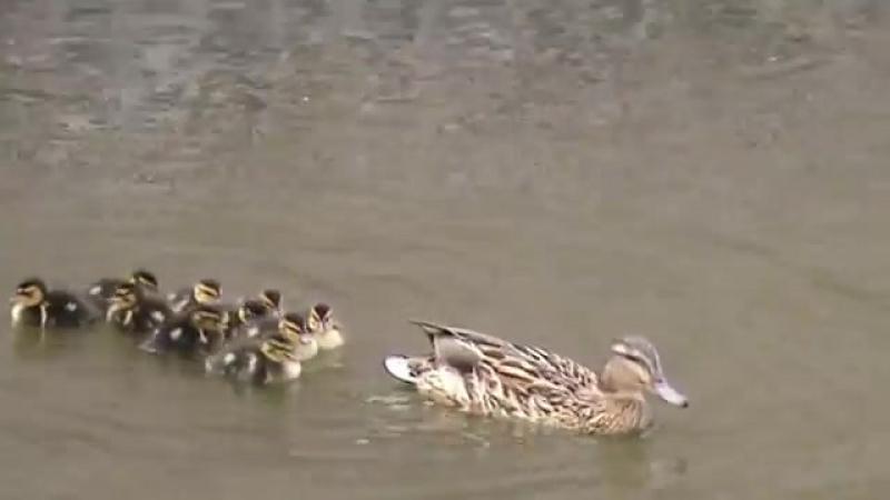 Duck Family in pond of Rosenborg Castle in Copenhagen. LGBT TRAVELS © Copyright.