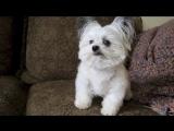 Норберт — обладатель титула «Самый милый пес в мире»
