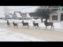 Законопослушные канадские олени