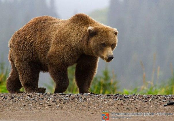 Обеспечить безопасность в ситуации с медведями вправе только полиция