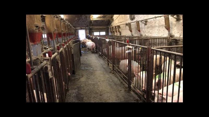 Перегон свиноматок в родильное отделение