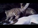 На плато Укок в Горном Алтае впервые установлены камеры WWF и М Видео ищут снежного барса