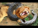 Lion vs Giant Anaconda - Crocodile vs Python | Most Amazing Attack of Animals