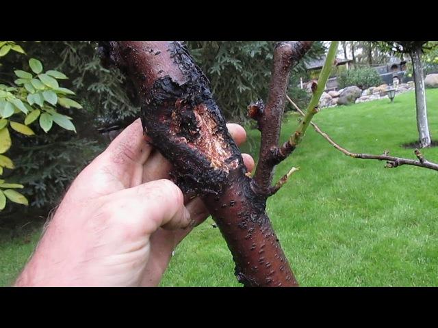 Как и чем обработать персик осенью Как бороться с камедью