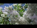 Secret Garden Adagio Когда цветет сирень