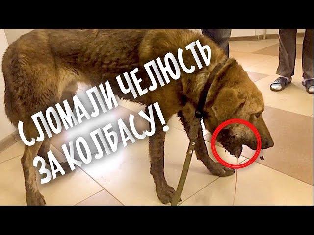 Собаке сломали челюсть мешала кушать колбасу