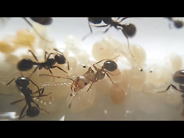 Муравьиные будни - Messor structor ants, Муравей-жнец