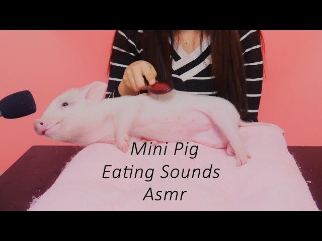 세계최초 미니피그의 먹방 리얼이팅사운드(mini pig's eating sounds)[재미로보는 ASMR]꿀꿀선50500