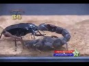 Giant Mandicora Beetle VS Thick Tail Scorpion