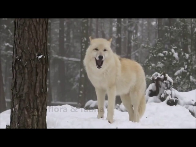 Leo Rojas Chantelle Barry - Wolf`s Heart