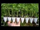 УСКОРЕНИЕ РАССАДЫ ПЕРЦА РАСТЕТ БЫСТРЕЕ фитильный полив подкормка удобрение пикировка выращивание