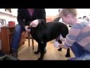 Лабрадоры Искусственное осеменение Breeding dogs Artificial Insemination for Dogs Labradors