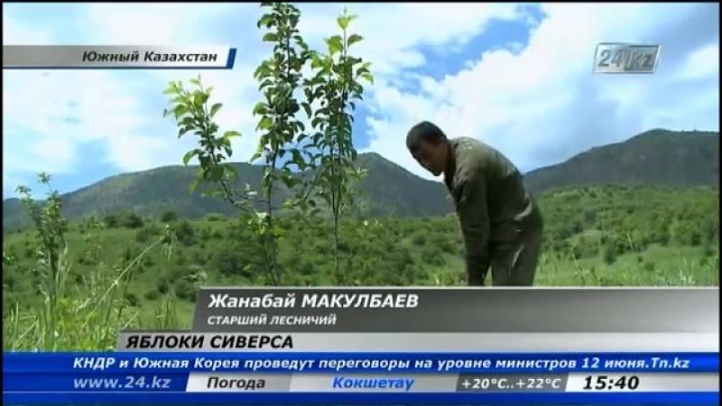 В Южном Казахстане возрождают яблони Сиверса