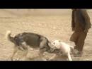 Гульдонг VS афганский волкодав