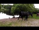 Сестрорецк, парк Дубки- купание лошадей