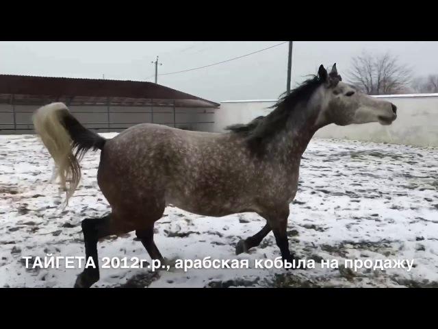 Продажа лошадей арабской чистокровной породы кобыла ТАЙГЕТА 2012г р