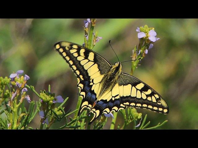 Махаон Swallowtail Papilio machaon Полёт бабочки Апшеронский национальный парк