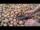 Лук в теплице - от посадки до сбора урожая