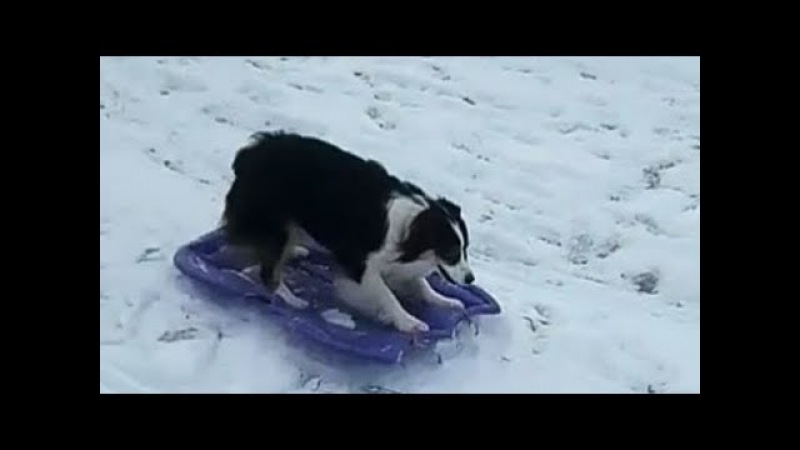 Independent dog takes sledding into her own paws