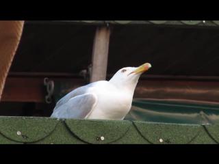 болгарская чайка